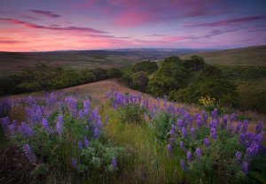 Lupine Meadow, Dawn